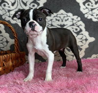 Prudence Female ACA Boston Terrier $750
