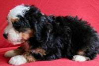 Molly: Female Mini Bernedoodle (Full Price $ 3,450) Deposit - Pups for sale in Ohio