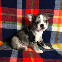 Oscar Male Frenchton $2,400