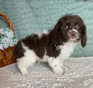 Ruddy Male Cockapoo $2000