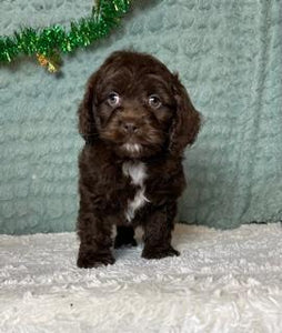 Coco Male Cockapoo $2000