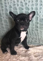 Scout Male Frenchton $1500
