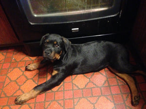 Alax Female Rottweiler (Full Price $900.00) Deposit