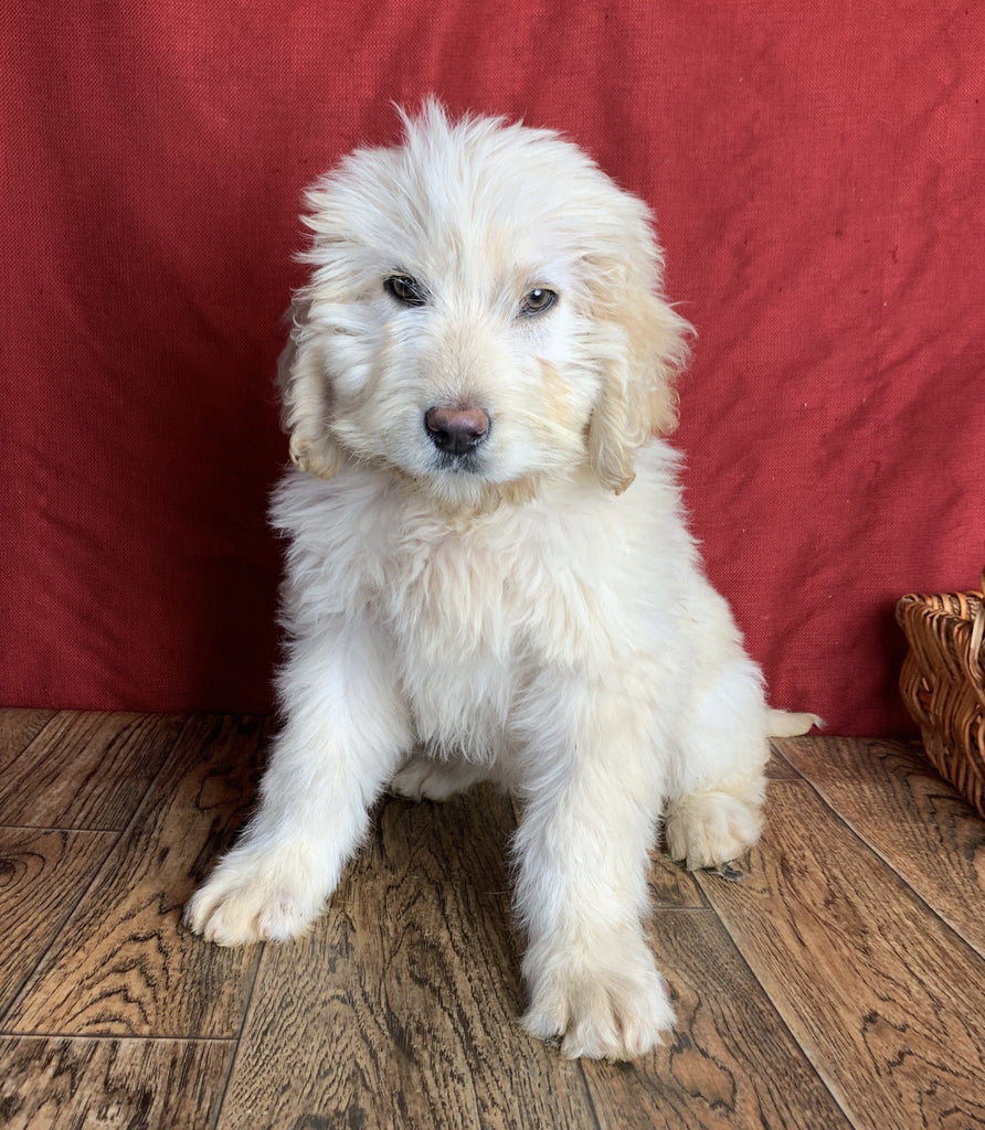 Labradoodle Puppy in Ohio