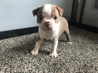 Chet Male Boston Terrier AKC (Full Price $1199.00) Deposit