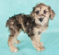 Schnoodle puppies for sale near me
