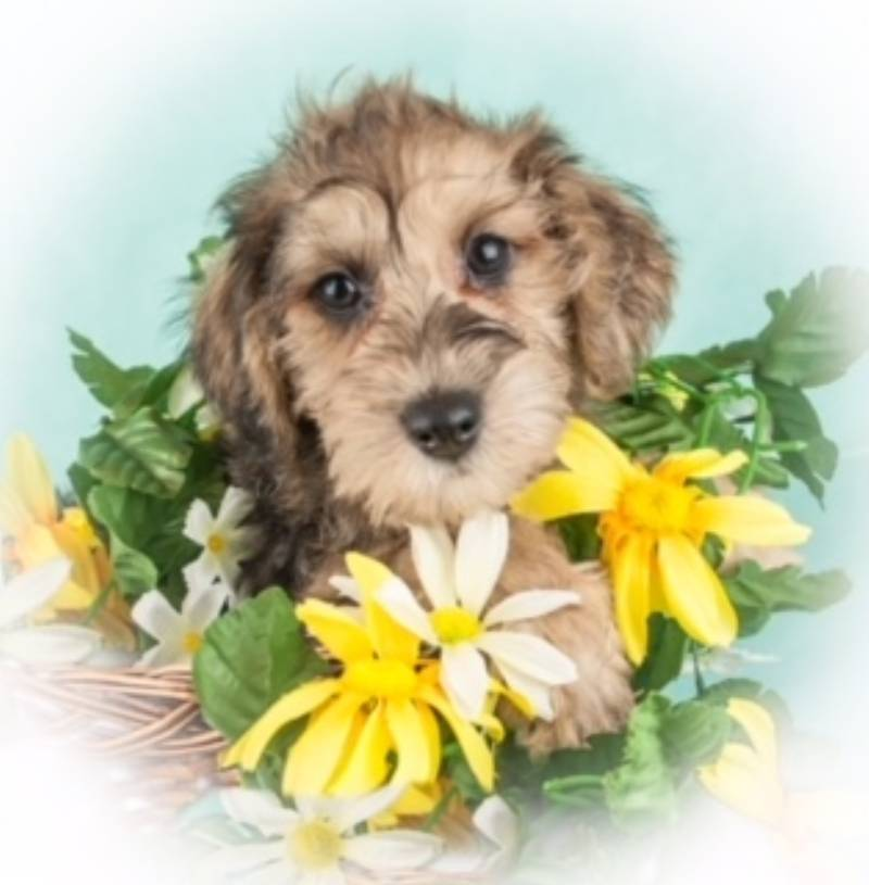 Schnoodle puppy for sale