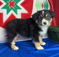 Kip Male Miniature Australian Shepherd $375