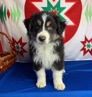 Ladie Male Miniature Australian Shepherd $375
