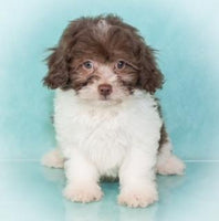 Sam Male Shihpoo $950.00