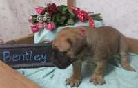 Bentley: Male AKC Bullmastiff (Full Price $1099) Deposit
