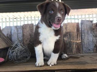 Lavon Male Border Collie Mix $350
