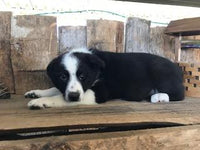 Ray Male Border Collie Mix $350