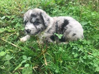 Picasso Male Newfoundland Mix (Full Price $1499.00) Deposit