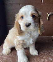 Sammy Male ACA Cocker Spaniel $1800