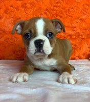 George: Male Boston Terrier AKC (Full Price $1200) Deposit