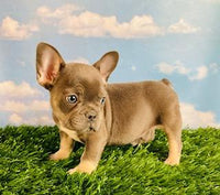 Tito Male AKC French bulldog $4500