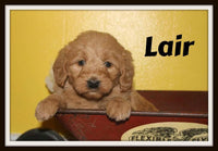 Lair Male Mini Labradoodle $900