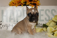 Angel Female Boston Terrier ACA (Full Price $1500) Deposit