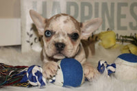 Lacey Female Boston Terrier AKC (Full Price $1600) Deposit
