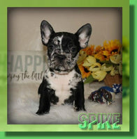 Spike AKC Male French Bulldog $2800