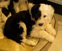 Patch Male Sheepadoodle $999