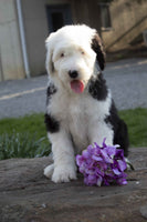 Female Sheepadoodle For SALE ask us for Pictures $1800