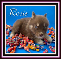 pomsky puppies for sale near me