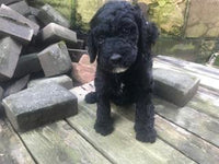 Poodle for sale near me Michigan Ohio Indiana