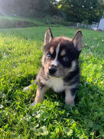 pomsky puppies for sale near me in ohio