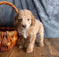 Max Male Mini Poodle $850