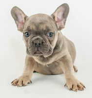 Duce: Male Frenchie (Full Price $2800.00) Deposit