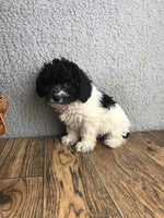 Georgia Female Poochon $750.00