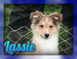 Lassie Female Aussie Sheltie Mix (Full Price $650.00) Deposit