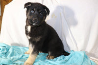 German Shepard Husky mix in Ohio