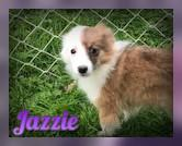Jazzie Female Aussie Sheltie Mix (Full Price $650.00) Deposit