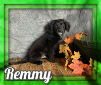 Remmy Male Mini Goldendoodle $600