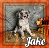 Jake Male Mini Goldendoodle $1250