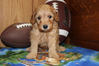 Buster Male Cavalier (Full Price $1,200.00) Deposit