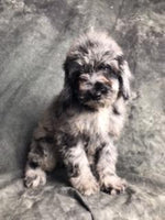 Mozart Male Mini Poodle (Full Price $3000.00) Deposit