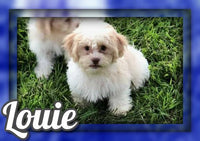 Louie Male Shih-Chon Teddy Bear $450
