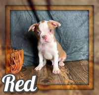 Red Male Boston Terrier $750