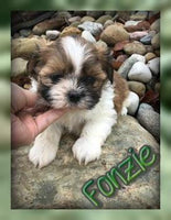 Fonzie Male Shihtzu (Full Price $800.00) Deposit