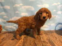 Lucy Female F1 Goldendoodle $750