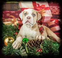 Maxine Female Olde English Bulldog (Full Price $1700.00) Deposit
