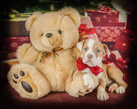 Nova Female Olde English Bulldog (Full Price $1700.00) Deposit