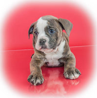 Dory Female Olde English Bulldog (Full Price $1500.00) Deposit