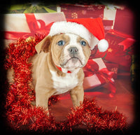 Cat Female Olde English Bulldog (Full Price $1700.00) Deposit