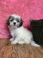 Sadie Female Shih-Chon Teddy Bear $750