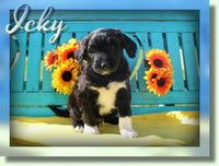 Icky Male Aussiedoodle $800